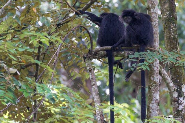 zwarte apen in Pangandaran National Park