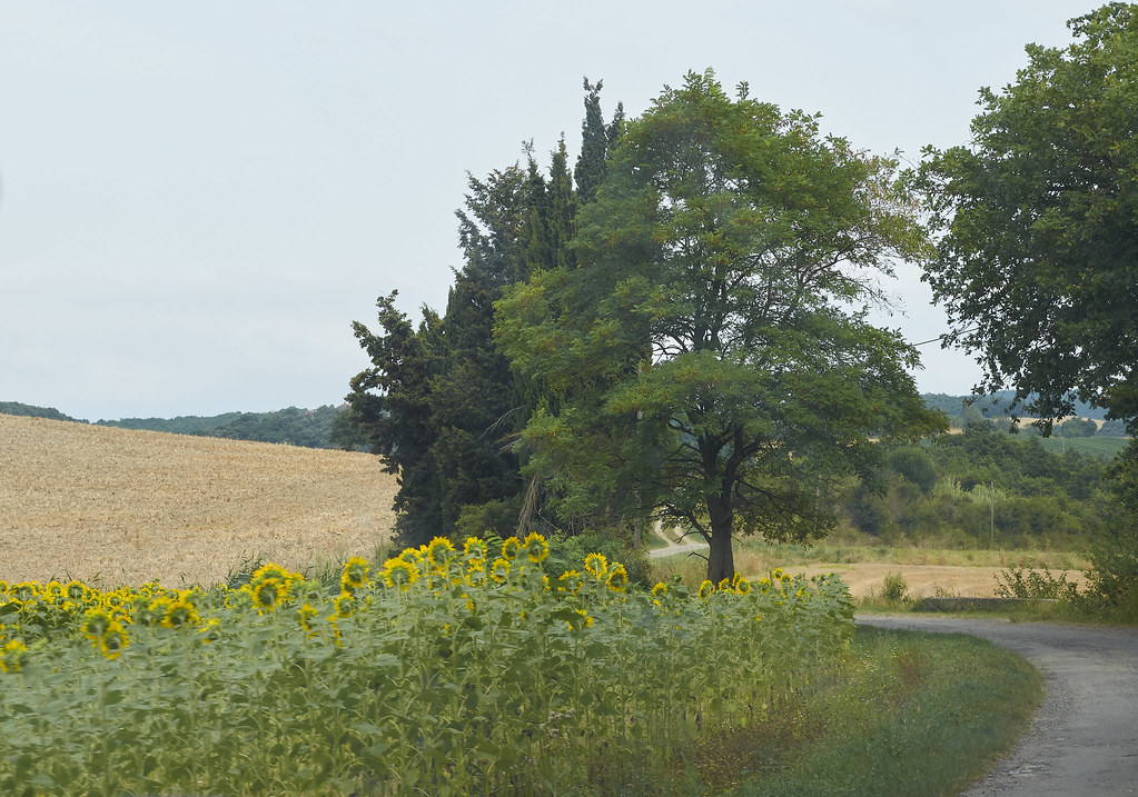 zonnebloemen, languedoc