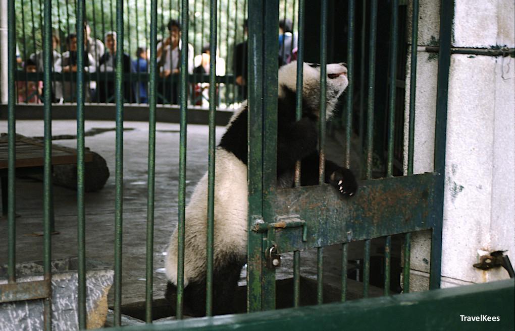 panda in chengdu zoo