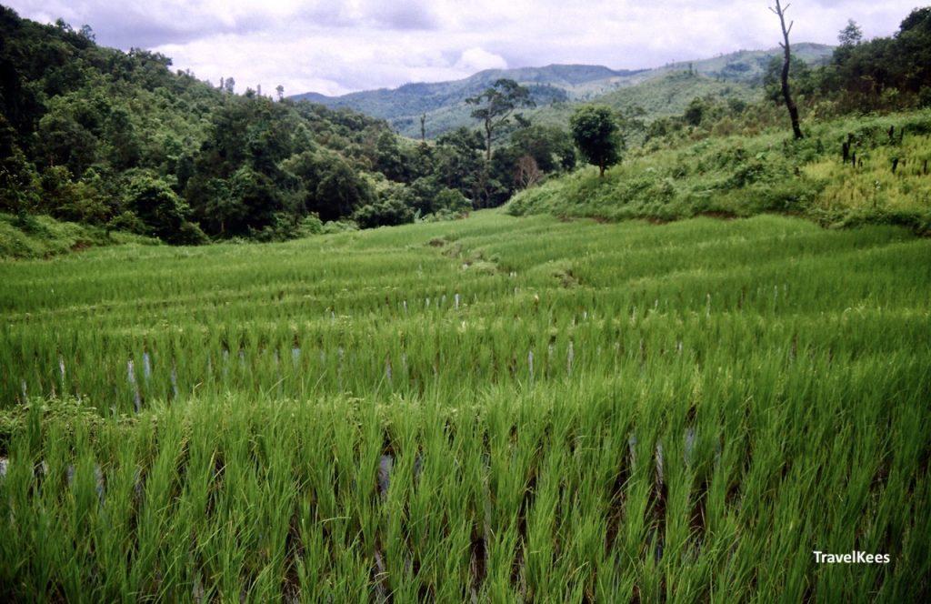 rijstvelden bij chiang mai