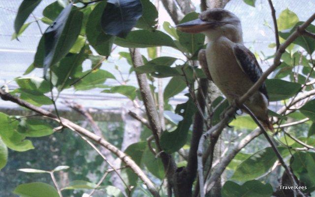De Kookaburra, oftewel de lachvogel. Komt ook echt alleen in Australië voor.
