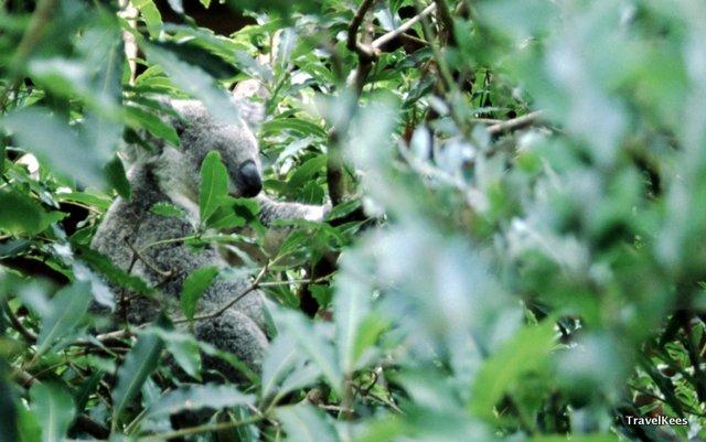 werk in sydney, sydney, koala