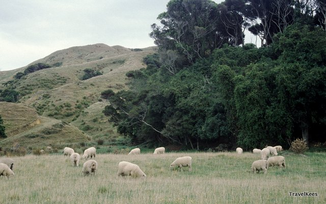 sheep grazing in new zealand