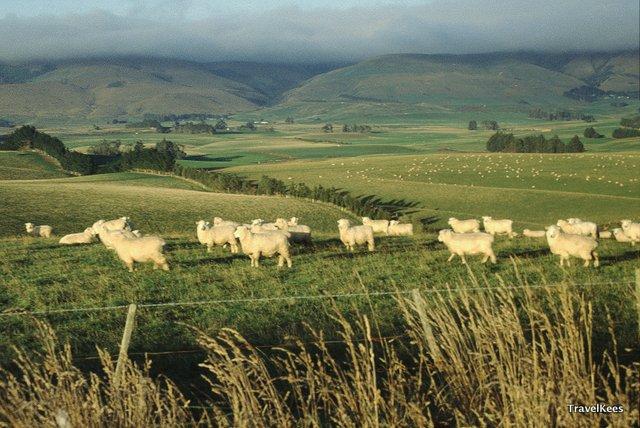 schapen nieuw-zeeland