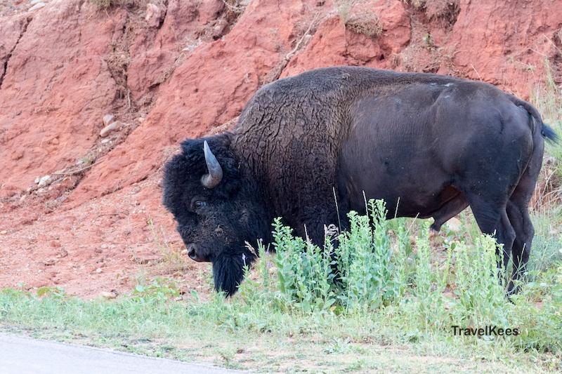 Bizon, Custer State Park, Black Hills