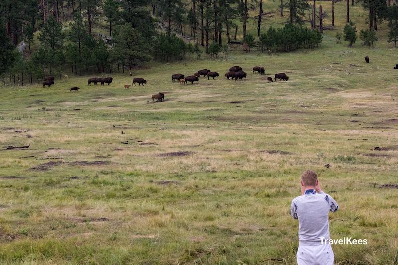 bizons, Custer State Park, Black Hills