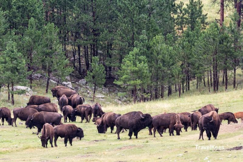 bizons, kudde, Custer State Park, Black Hills