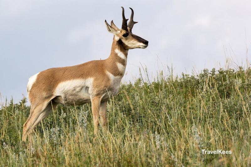 Custer State Park, Black Hills, gaffelbok, fauna, antelope
