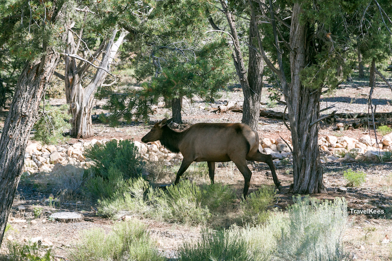 elk, grand canyon national park,