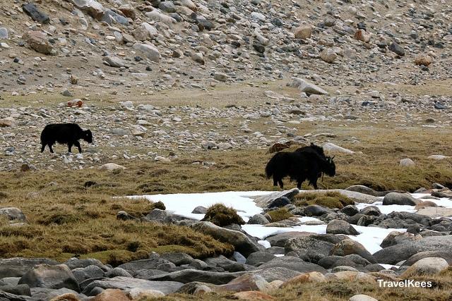 ladakh, khardung la, yak