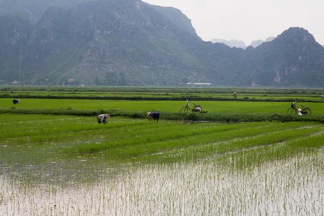 rijstvelden worden door boeren bewerkt in het karstlandschap van ninh binh