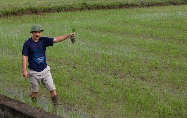 ninh binh, rice field, farmer, rice farmer,