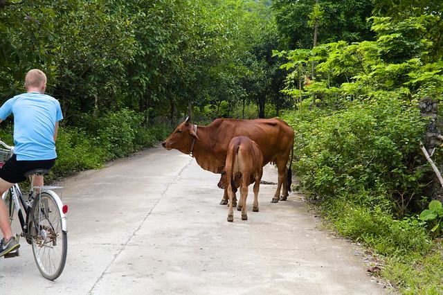 fiets moet uitwijken voor koeien op de weg in thung nham