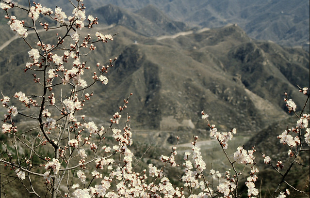 bloesem met op de achtergrond de chinese muur, blossoms with chinese wall in background,