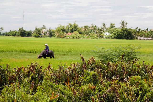boer met buffel in de rijstvelden bij Hoi An