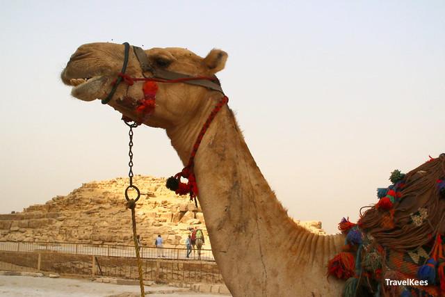kameel bij pyramides