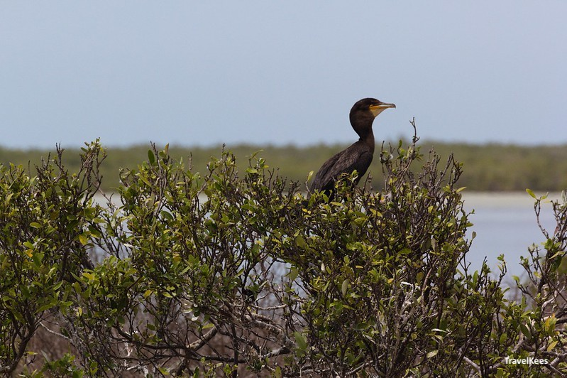 aalscholver op isla pajaros; 3 islands tour