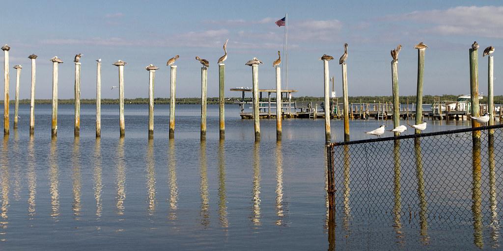 pelicans on poles, everglades