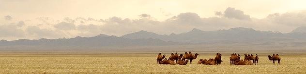 kamelen in gobi woestijn